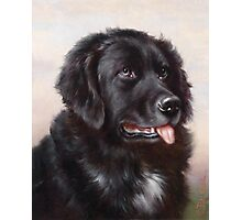 Newfoundland Dog Portrait Photographic Print