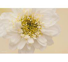 White Mini Chrysanthemum Macro Photographic Print