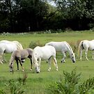 Camargue horses - read description, please! by bubblehex08