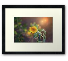 Sunflower bloom Framed Print