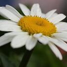 a daisy for you by ANNABEL   S. ALENTON