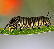 Monarch Butterfly Caterpillar by jozi1