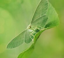 Green moth by JBlaminsky