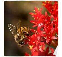 Bee on scarlet paintbrush Poster
