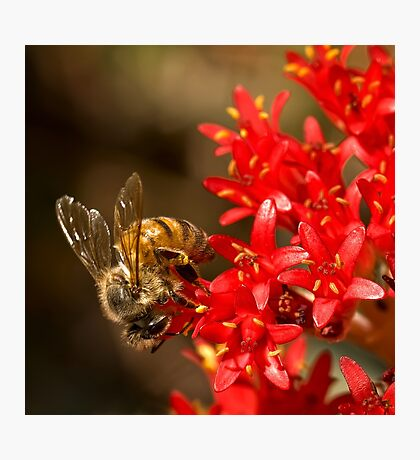 Bee on scarlet paintbrush Photographic Print