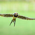 Swallow in Flight by John Dunbar