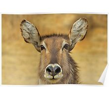 Waterbuck - Focused Stare - African Wildlife Poster