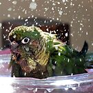 Splash Time - Maroon-Bellied Conure by AndreaEL