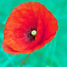 Red French Poppy by DPalmer