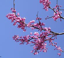 Redbud 1 by Katie Hinton