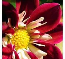 red and white dahlia Photographic Print