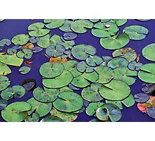 Tranquil waterlily pond Photographic Print
