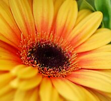 yellow gerbera daisy by Miriam Gordon