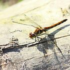 Dragonfly by franceslewis