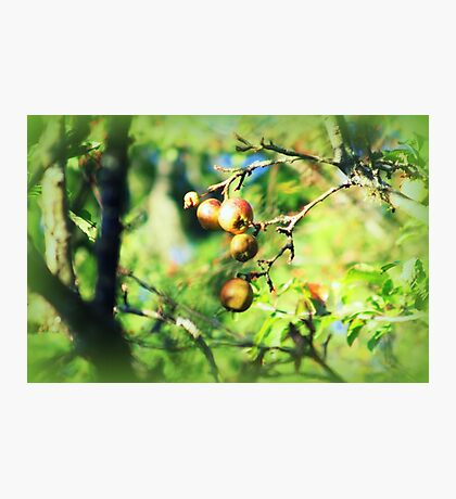 Crab apples Photographic Print