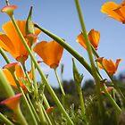 California Poppies by Miriam Gordon