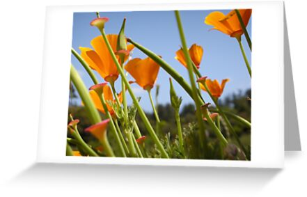 California Poppies by Miriam Gordon