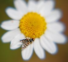 Daisy with a fly by Miriam Gordon