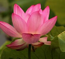 Pink Lotus Flower by hummingbirds