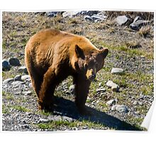 Young Grizzly along the Alaska Highway Poster