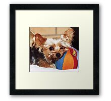 Cosby the yorkshire terrier Framed Print