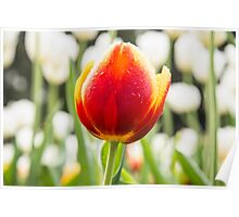 A majestic orange and yellow Tulip in a sea of White Poster