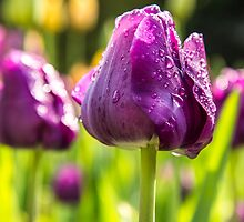 Pretty purple Tulips by Tammee Berry