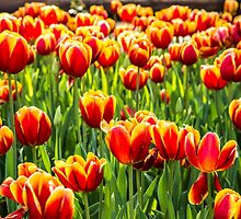 A mass of yellow and orange Tulips sitting in a field of green by Tammee Berry