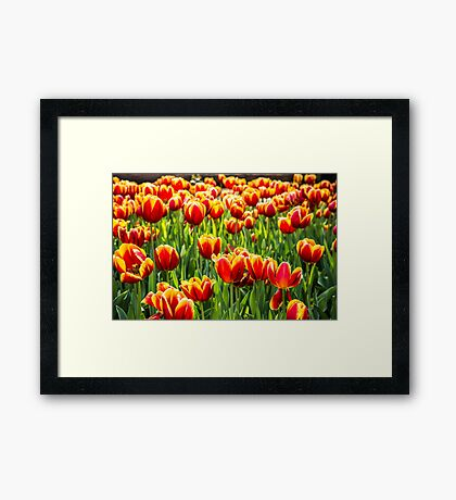 A mass of yellow and orange Tulips sitting in a field of green Framed Print