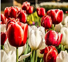 Beautiful red and white Tulips in a field by Tammee Berry