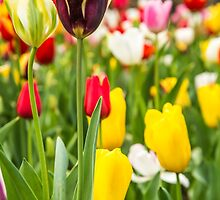 Colourful display of Tulips in bloom by Tammee Berry