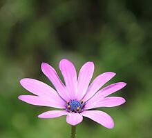 Pink Daisy Opening by LisaGHunter