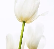 Brilliant white Tulips on a crisp white background by Tammee Berry