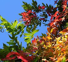 Red, Green and Gold Virginia Creeper Against Blue Sky by Emilie Crouch