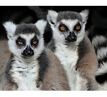 Life Is Serious - Ring-tailed Lemurs Photographic Print