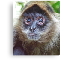 Blue Eyed Spider Monkey Canvas Print