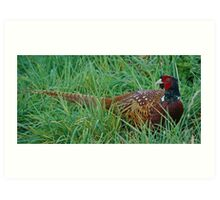 EUROPEAN ~ Common Pheasant Art Print