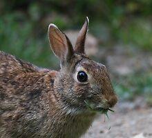 rabbit by spetenfia