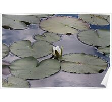 waterlily in the lake Poster