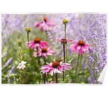 Echinacea nectar Poster