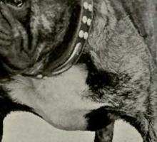 Vintage English Bulldog Photograph Sticker