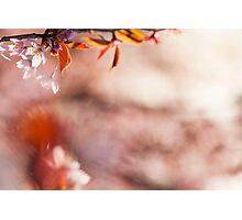 Cherry Blssom Photographic Print