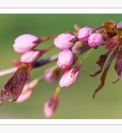Cherry Tree Buds Sticker