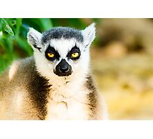 Lazy Lemur Portrait On Madagascar Island Photographic Print