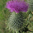Scotch Thistle by CapturedByKylie