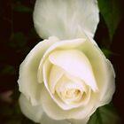 Une rose blanche nous offre son coeur ! by pitoire
