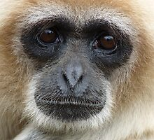 White Handed Gibbon by acespace