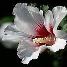 Hibiscus  by Dennis Cheeseman