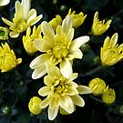 Rising stars - potted chrysanthemum by bubblehex08