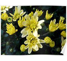 Rising stars - potted chrysanthemum Poster